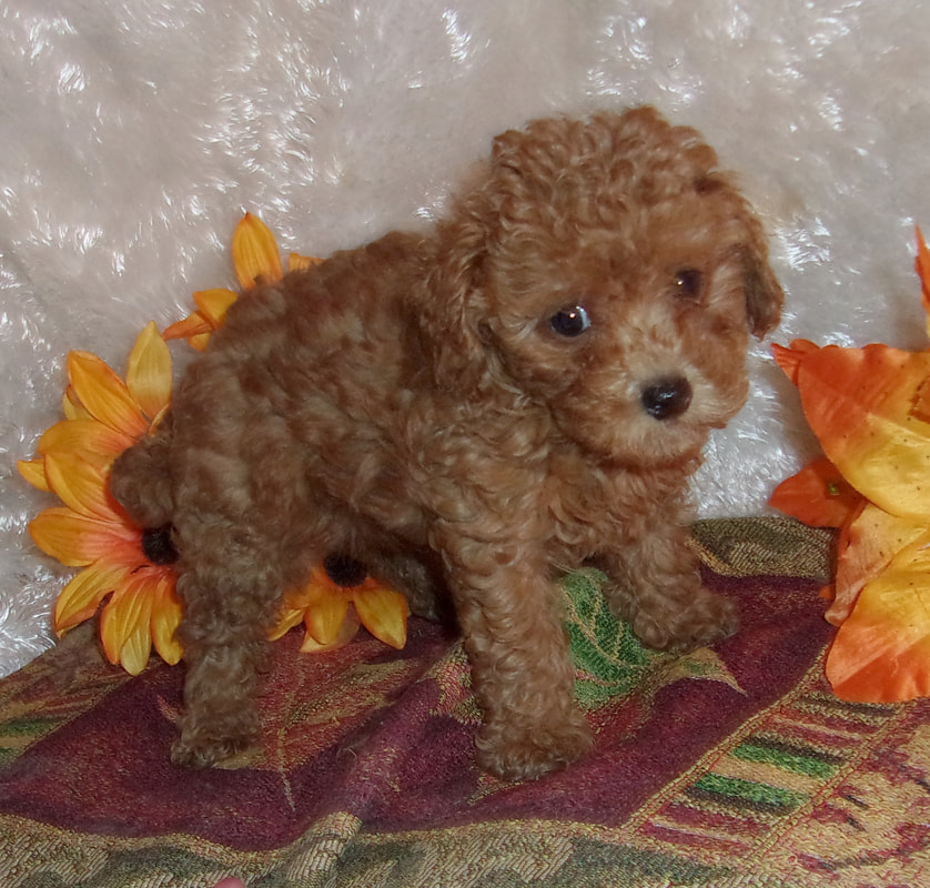 Toy Poodles For Sale Yorkie Mountain Pets